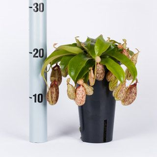 Nepenthes Hookeriana